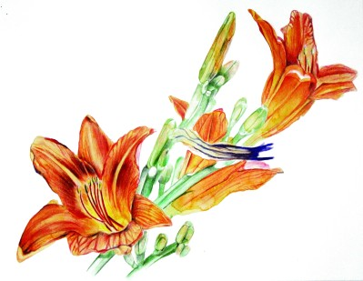 """Phillip Potter """"Day Lillies -Four of July"""" 2017 watercolor and colored pencil on paper"""