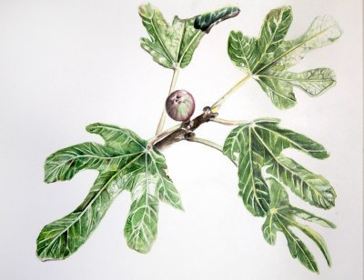 "Phillip Potter ""Ficus curias"" 2017 watercolor and colored pencil on paper"