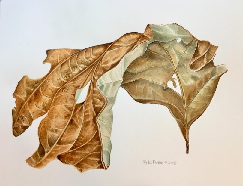 "Phillip Potter, Died Oak Leaf, 14"" x 11"", watercolor on 140lbs Fabrino Artistico"