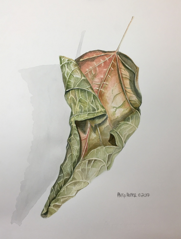 "Phillip Potter, ""Dried Ash Leaf, Nice Fall Colors"" 14"" x 11"", watercolor on Fabrino 140lbs hot press"