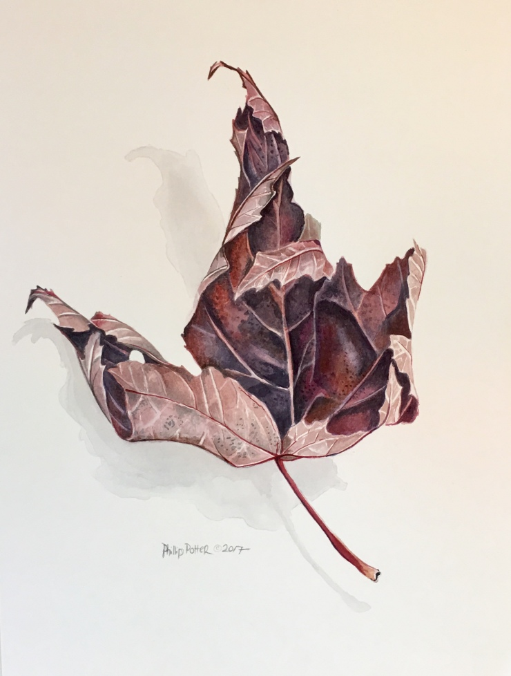 "Phillip Potter, ""Purple Dried Autumn Blaze Maple Tree Leaf"" 11""x14"" watercolor on Fabrino 140lbs hot press"