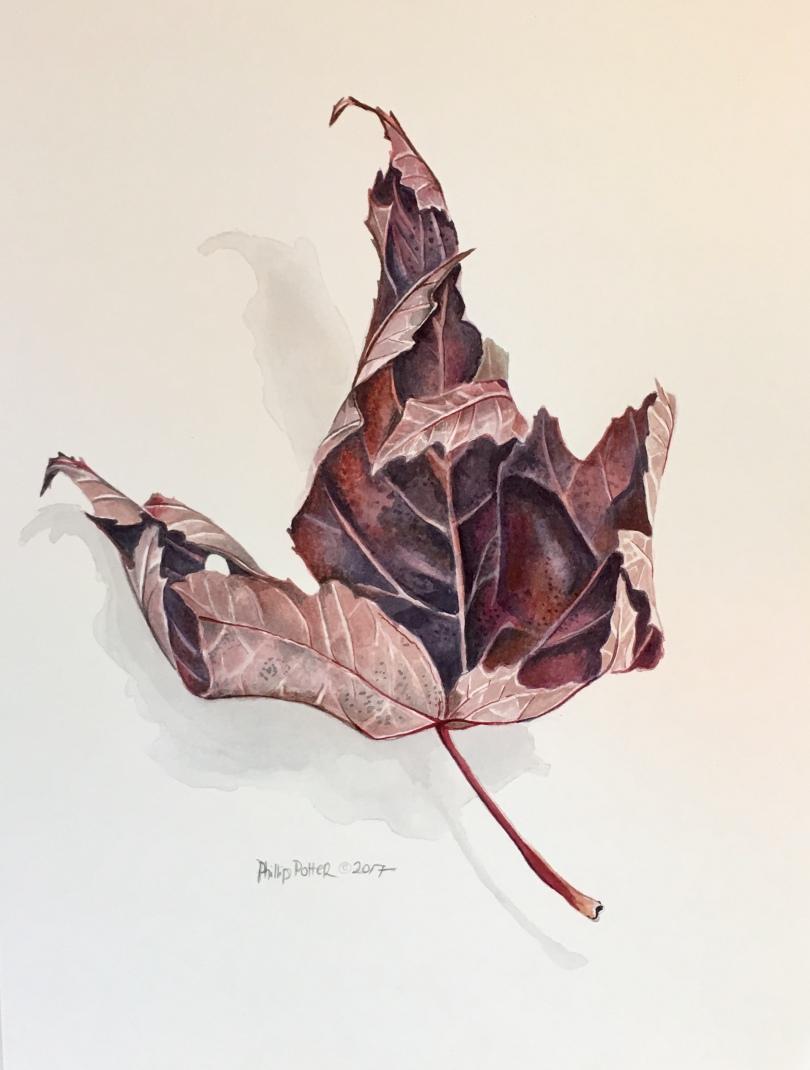 "Phillip Potter, ""Purple Dried Autumn Blaze Maple Tree Leaf"" 11""x14"" watercolor on Fabrino 140lbs hot press"
