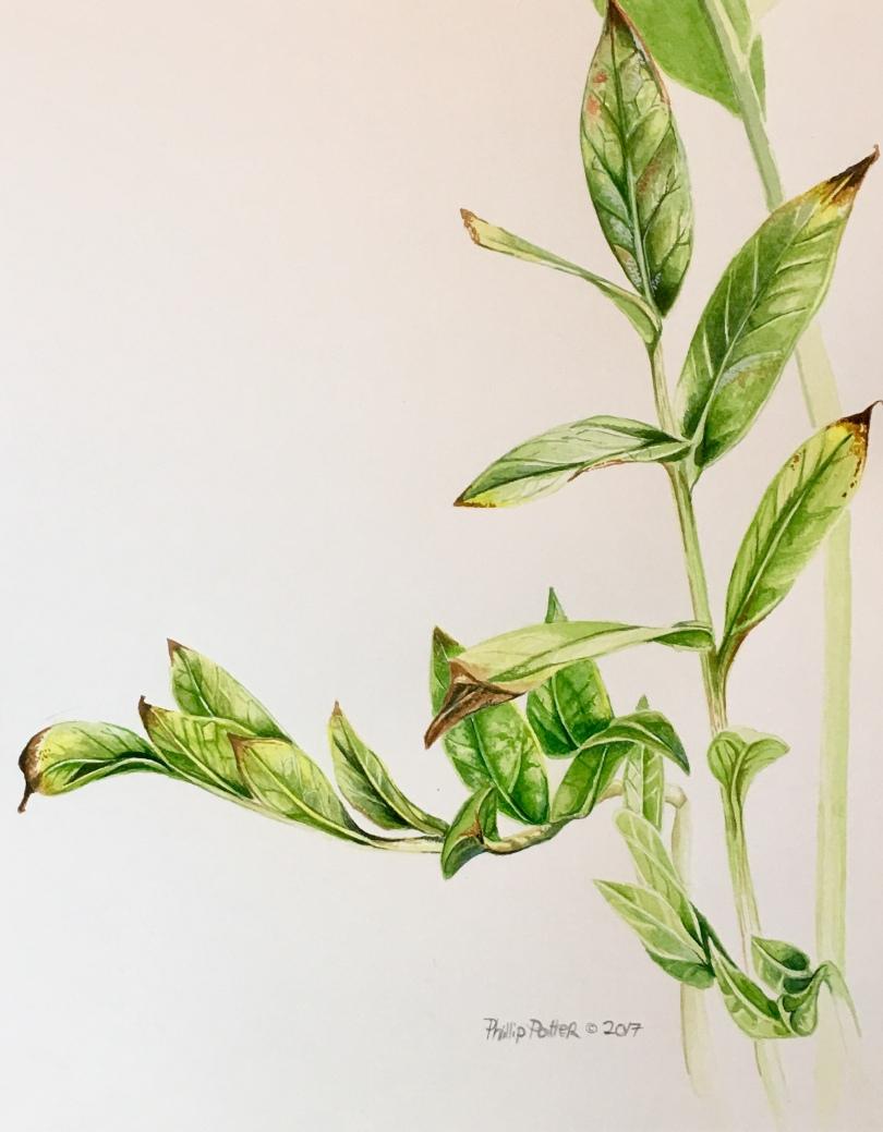 "Phillip Potter ""Zamioculcas"" boring house plant, 11""x14"" watercolor on paper"